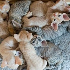 Devon Rex kittens are highly trainable and are quick at learning new things.Average litter size for Devon Rex cats is about 5 kittens.However larger litters are also expected. Pretty Cats, Beautiful Cats, Animals Beautiful, I Love Cats, Crazy Cats, Cool Cats, Kittens Cutest, Cats And Kittens, Devon Rex Kittens