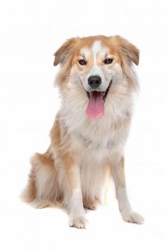 """The """"Gollie""""- Golden retriever and Collie mix. The Good, the Bad, the Fluffy: Best and Worst Dog Hybrids   Divine Caroline."""