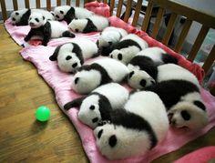 Baby Pandas!  Adorbs!!!!