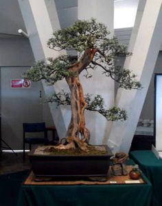 new zealand bonsai