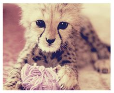 Even baby cheetahs want a yarn ball. Cute Creatures, Beautiful Creatures, Animals Beautiful, Zoo Animals, Cute Animals, Animals Tumblr, Animal Pictures, Cute Pictures, Baby Cheetahs