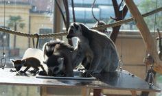 Ring-tailed lemur Family, zoo of vienna. Lemur, Vienna, Old Things, Ring, Creative, Travel, Animals, Rings, Viajes