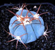 Echinocactus horizonthalonius (1cm) blue rare cactus