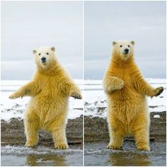 """Saturday Night Fever"" at the Arctic Circle! This bear is so funny and smart!"