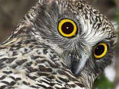Powerful Owl (Ninox strenua) close-up. Photo by Julian Robinson.
