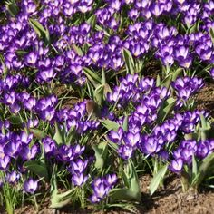 Crocus tommasinianus 'Ruby Giant': just put 34 bulbs into my garden. Now I have to wait...