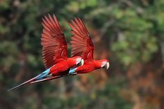 Green-Winged Macaws In Flight.