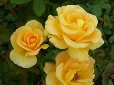 ハニーブーケ: F、木立、中輪、四季咲き、中大輪、良香、半直立性、1m~1.2m、樹勢は強い。鉢植え向き。
