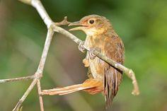 Barranqueiro-camurça (Automolus ochrolaemus)