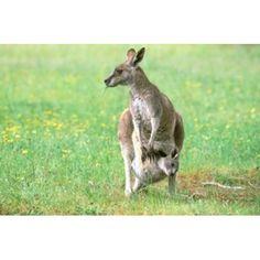 Australia Kangaroo Island Western Gray Kangaroos Canvas Art - Howie Garber DanitaDelimont x Kangaroo Facts For Kids, Pet Rats, Pets, Australia Kangaroo, Kangaroo Island, Rare Animals, Animal Faces, Primates, Sea Lions