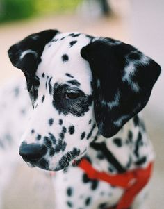 I absolutely love dalmatians next to beagles and an old yellow dog!