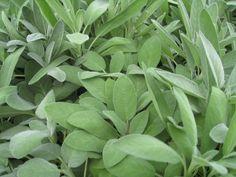 Sage Herb Seeds - 'Broadleaf Sage (Herb SeedS) ORGANICALLY GROWN .