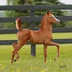 arabian foal :-)
