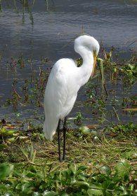 white egret jocotopec