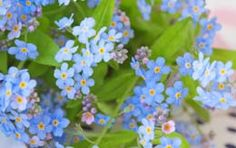 Do you know that the Forget-me-not plants, that are found in the North America are mostly from Europe. Know more about these plants and flowers and the myths or legends about, how they acquired so catchy a name.