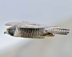 Volunteer 'eyes on the skies' track peregrine falcon recovery in ...