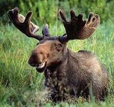 Watch out for moose!  They make HUGE dents in your car...  YES     ......