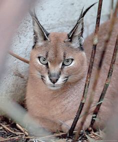 Flirty Lynx Ears