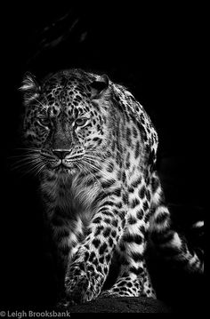 Amur Leopard Gosh I love black and white photography. It does amazing things to the subject.
