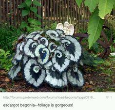 Escargots begonias (foto)