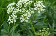 Bu Bitkiyi Gören Asla Dokunmasın | Bilgi Doktoru Parsley, Aloe, Herbs, Backyard, Flowers, Plants, Image, Gardens, Patio