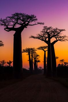 The Avenue of the Baobabs is a prominent group of baobab trees lining the dirt road between Morondava and Belon'i Tsiribihina in the Menabe region in western Madagascar.