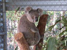 Please Help Courtney Waugh Cure Disease in #Koalas http://www.pozible.com/project/186307