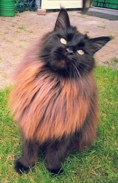 How To Keep A Maine Coon Cat Growth Chart? (For Maine Coon Cats And Kittens) – Fournitures pour animaux Cute Kittens, Cats And Kittens, Pretty Cats, Beautiful Cats, Animals Beautiful, Cool Cats, Cute Baby Animals, Animals And Pets, Maine Coon Kittens