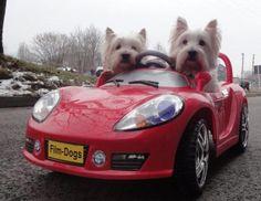 Gotta love a westie! ~ doggiechecks.com