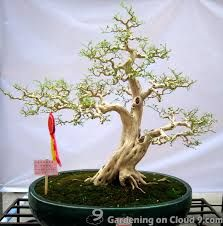 Prentresultaat vir chinese landscape bonsai