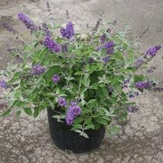 Looking for the perfect Flutterby Petite Blue Heaven Dwarf Butterfly Bush - Live Plant - 1 Gallon Pot? Please click and view this most popular Flutterby Petite Blue Heaven Dwarf Butterfly Bush - Live Plant - 1 Gallon Pot. Hedging Plants, Shrubs, Potted Plants, Deer Repellant Plants, Dwarf Butterfly Bush, Butterfly Garden Plants, Growing Raspberries, Pot Plante, Sun Perennials