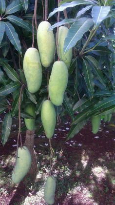This looks like the mango variety growing in our yard - Vietnamese Mango 'Nam Doc Mai' Mango Fruit, Mango Tree, Fresh Fruits And Vegetables, Fruit And Veg, Fruit Plants, Fruit Trees, Mango Nutrition, Mango Varieties, Gardens