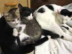 #Cats  #Cat  #Kittens  #Kitten  #Kitty  #Pets  #Pet  #Meow  #Moe  #CuteCats  #CuteCat #CuteKittens #CuteKitten #MeowMoe      右ゆず 真ん中 みかん 左あんず です ゆず&あんずは、兄弟猫(5ヵ月) みかんは、拾い猫です(3ヵ月) (@39_Hazuki)さんより  #CuteCats...   http://www.meowmoe.com/61231/