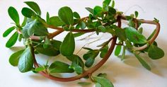 This New Superfood Is An Antioxidant And Powerhouse - Juicing For Health Omega 3, Purslane Recipe, Portulaca Oleracea, Foods High In Iron, Sr1, Juicing For Health, Edible Plants, Fish Oil, Medicinal Plants