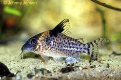 planetcatfish com corydoras simulatus aquaria corydoradinae axolotl ...