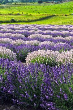 A Provence Lavender Farm Lavender Cottage, Provence Lavender, Lavender Garden, Lavender Blue, Lavender Fields, Lavender Flowers, Purple Flowers, Wild Flowers, Lavander