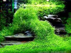 Utricularia graminifolia - http://www.aquarium123.nl/Utricularia-graminifolia-vleesetende-aquariumplant