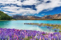 I stood amid these flowers and had to pinch my self to be sure it was real.  Lake Tekapo, NZ