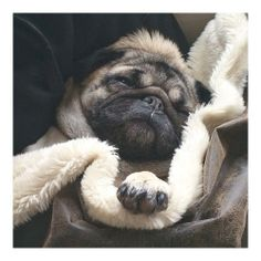 misssweetpeathepug:  In honor of #nationalloveyourpetday ❤️ another picture from Sweetpea's cozy nap yesterday