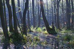 ALNUS FOREST FOG - Google zoeken