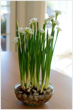 Forcing paperwhites indoors-  Some bulbs, stones and a pretty container makes a great gift.  These are easy to grow, only need water and light - so elegant and beautiful when they bloom.  : )