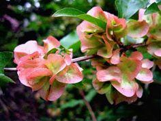 Dipelta floribunda: the flowers are pleasant but the persistent calyces are showier