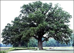An awesome tree.  We will climb it's limbs, take refuge in it's shade, and pile it's leaves for jumping.
