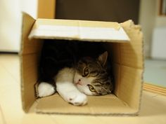 A cat named Maru.  I know that my cats also have an affinity for boxes.  It must be a cat thing.