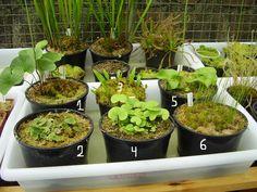 1) Utricularia reniformis. Serra do Quirirí, Garuva, Santa Catarina, Brasil.  2)…