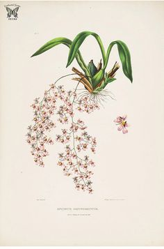 Beaked Oncidium. Oncidium ornithorhynchum. The Orchidaceae of Mexico and Guatemala (1837-1843) [Sarah Ann Drake] | by Swallowtail Garden Seeds
