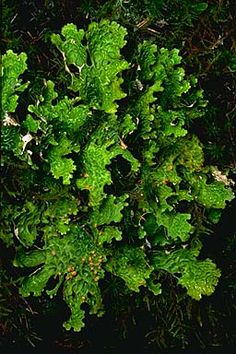 "Lobaria linita, or ""cabbage lungwort"", shown very wet, on a mossy embankment near Juneau, Alaska. This lichen is eaten by mountain goats in southeastern Alaska.  Photograph copyright Stephen/Sylvia Sharnoff"