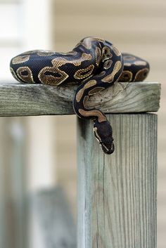 Ball python....ahhh I've wanted one for SO LONG!!!  If only my…