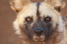 wild - African wild dog / Photo by: Ian Guthrie