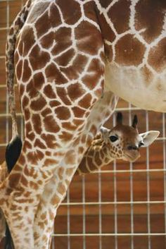 Newborn baby giraffe - Action Press/REX